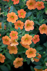 Calibrachoa Can Can 'Orange Improved' - Million bells