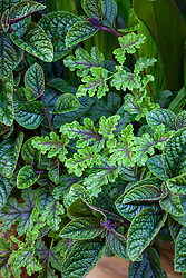 Foliage combination of Plectranthus ciliatus and Pelargonium quercifolium - Oak leaved geranium.