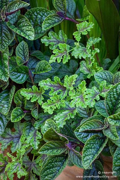 Foliage combination of Plectranthus ciliatus and Pelargonium quercifolium - Oak leaved geranium.