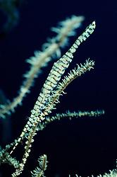 Tozeuma armatum, Saegeblatt Garnele auf Schwarzer Koralle, Needle shrimp on black coral, Bali, Tulamben, Indonesien, Indopazifik, Bali, Indonesia Asien, Indo-Pacific Ocean, Asia