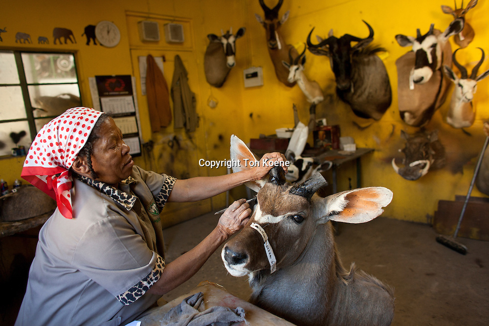 taxidermy. Hunters from US and Germany shoot wildlife and stuff it as a trophy in a taxidermy workshop in Namibia.