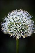 Allium stipitatum 'Mount Everest' - ornamental onion