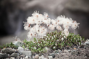 Flowering Dryas (Dryas spp.) on the edge of the Root Glacier in Wrangell-St. Elias National Park, Alaska.