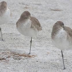 Willets, Catoptrophorus semipalmatus, at Fort De Soto Park in Pinellas County, Florida. Winter plumage.