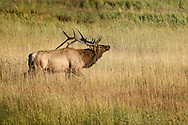 Powerful Bull Elk during the rut showing off his antler decorations