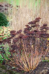 Seedheads of Sedum 'Autumn Joy' syn. Sedum Herbstfreude Group 'Herbstfreude'