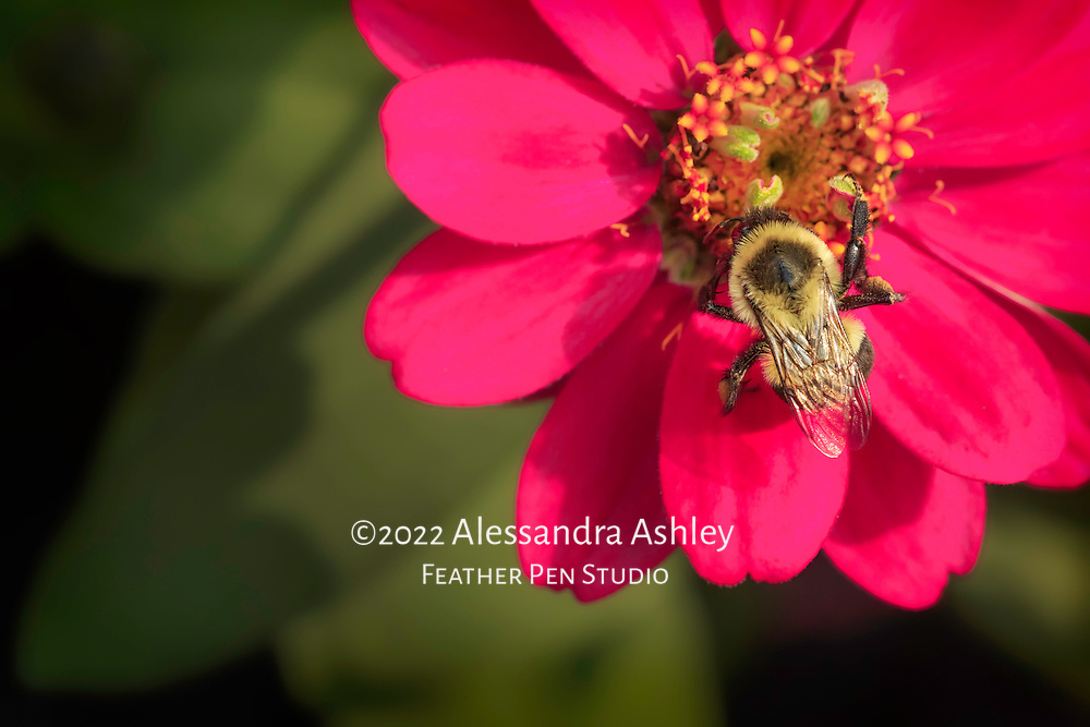 Bumblebee extracting nectar from bright red-pink dahlia in garden setting.