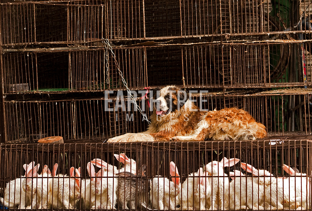 This undated photograph shows a young Staint Bernard dog for sale at a wholesale market in Guangzhou, Guangdong Province, China. For the first time in China's history, dogs and cats may be off the menu according to a new draft in animal rights legislation. The draft proposed by mainland avocates, 27 Janaury 2010 is suggesting that eating dogs and cats would become a criminal offence carrying a maximum fine of 5,000 Yuan ( HK$5,700) or 15 days detention. EPA/Paul Hilton Wild animal market, Guangzhou, China. Photo: Paul Hilton for Earth Tree Images