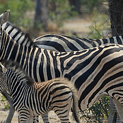 Burchell's Zebra, a mother and her baby. Malamala Game Reserve, South Africa.