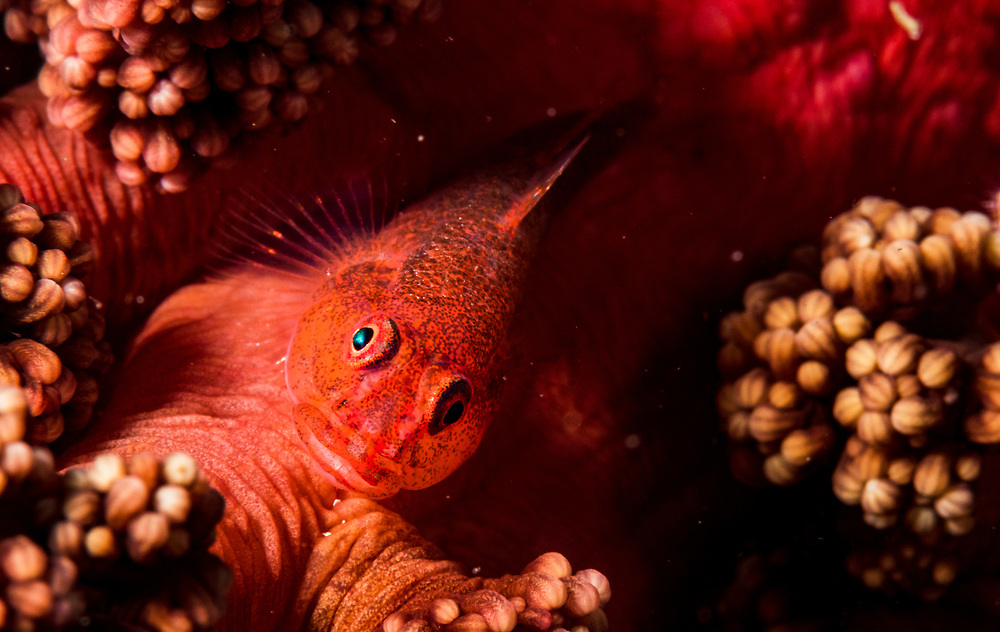 A common ghost goby (Pleurosicya mossambica) on soft coral, Alor, Indonesia.