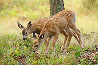 A pair of spotted fawns graze on the wild grasses in Kootenay National Park.<br /> <br /> ©2013, Sean Phillips<br /> http://www.RiverwoodPhotography.com