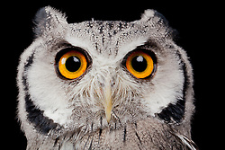 © under license to London News Pictures. 23/09/12. A  White Faced Owl. Animals appear to pose for their portrait as part of a photo session in Macro photography at Park Farm in the heart of Knowsley Safari Park in Merseyside. Photo credit should read IAN SCHOFIELD/LNP