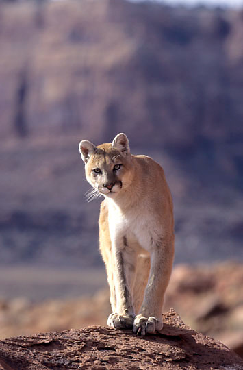 Mountain Lion, (Felis concolor) Adult in Utah.   Red rock country. Captive Animal.