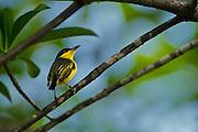 Common Tody-Flycatcher (Todirostrum cinereum)<br /> Savannah<br /> Rupununi<br /> GUYANA. South America