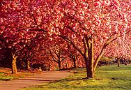 Cherry Blossoms, Brooklyn Botanic Garden, Brooklyn, New York