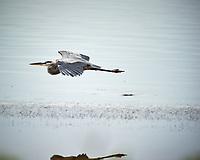 Great Blue Heron in flight. Biolab Road, Merritt Island National Wildlife Refuge. Image taken with a Nikon D3s camera and  70-200 mm f/2.8G VRII lens and TC-E 2.0 III teleconverter (ISO 200, 400 mm, f/5.6, 1/640 sec).