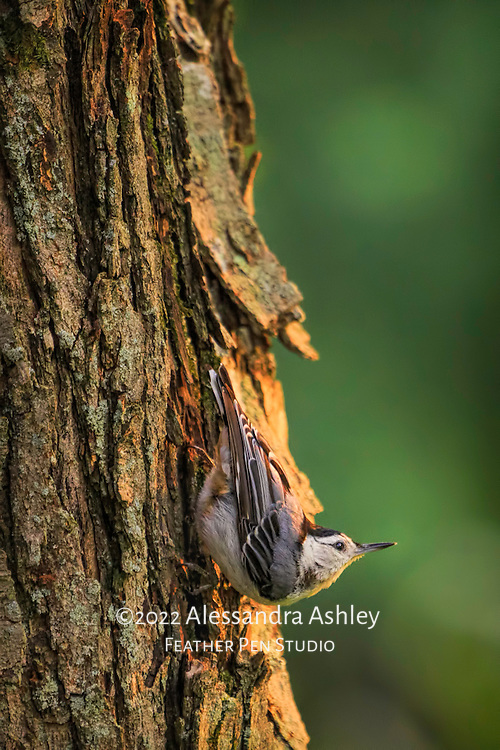 White breasted nuthatch clinging to maple tree trunk in warm light. Backyard setting, central Ohio.