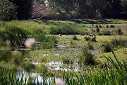 Nederland, Sambeek, 28-5-2020 Repo over het sturen van het waterpeil in de Maas dmv de stuwen . Het peil in de rivier wordt 10 centimeter hoger gehouden als normaal. Hiermee probeert rijkswaterstaat de gevolgen van de droogte in het stroomgebied wat op te compenseren . Uiterwaarden bij Oeffelt in het Maasheggen natuurgebied waar het beekje de Oeffeltse Raam stroomt.Foto: Flip Franssen