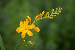 Crocosmia 'Paul's Best Yellow'