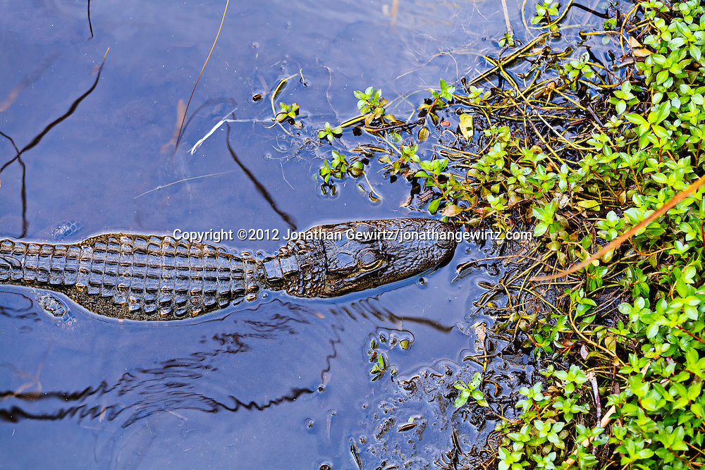 An immature American Alligator (Alligator mississippiensis) viewed from above in Everglades National Park, Florida. WATERMARKS WILL NOT APPEAR ON PRINTS OR LICENSED IMAGES.
