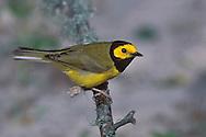 Hooded Warbler - Wilsonia citrina - male