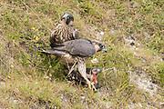 Peregrine (Falco peregrinus) fledglings eat corvid prey. Sussex, UK.