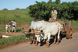 Oxen pulling a cart near Pinar del Rio; Cuba,