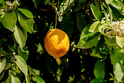 Oranges growing in the gardens of the Bahia Palace in Marrakech, Morocco, North Africa<br /> <br /> <br /> (c) Andrew Wilson | Edinburgh Elite media