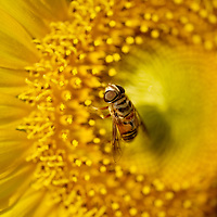A bee lands on a sunflower Old River Farms in Burgaw, N.C.