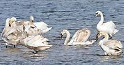 Immature  year old mute swans (Cygnus olor) are inspected by a mature male.   Rye Harbour Nature Reserve, Rye Harbour, Sussex, UK.
