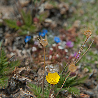 Alpine Avens (Geum rossii) blooms in the tundra atop Beartooth Pass, Wyoming.