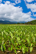 Taro fields in Hanalei Valley, North Shore, Island of Kauai, Hawaii
