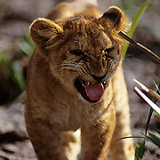 African Lion, (Panthera leo) Portrait of cub snarling. Masai Mara Game Reserve. Kenya. Africa.