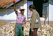 Sweet corn maize production farmer explaining to visitor, Fazenda Sant' Anna, Campinas, Brazil, South America 1962