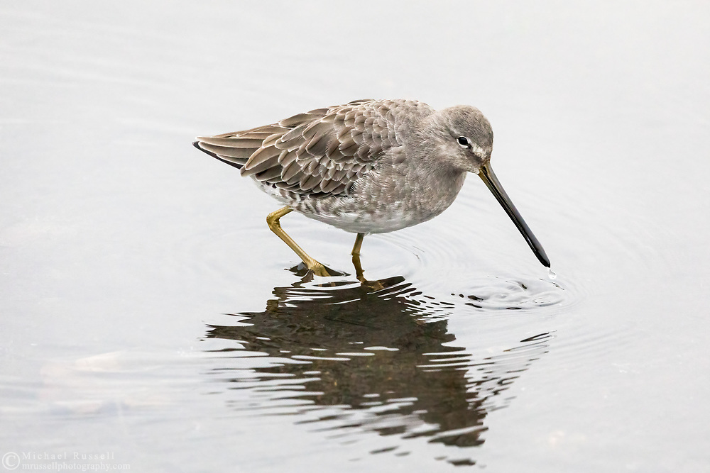 A Long-Billed Dowitcher foraging at Burnaby Lake Regional Park in Burnaby, British Columbia, Canada.  This individual and its flock is most likely overwintering at Burnaby Lake before departing to breeding grounds in the spring.
