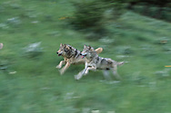 Wolves running in tandem, mountain meadow, blur-pan style, Montana, © David A. Ponton [This image was essentially stolen by a stock agency, striped of my identifying information and copyright, and shared with a much larger agency. Without resources to pursue a legal correction, my only recourse is to ask you to buy from me, the photographer, owner, and copyright holder. Thank you, DAP]