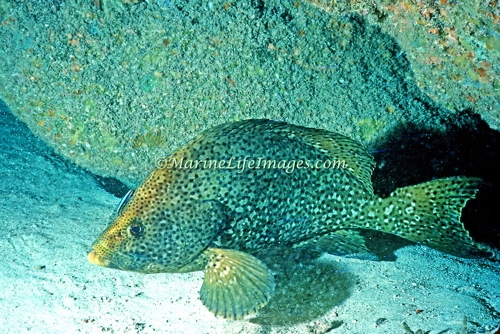 Marbled Grouper are rare and inhabit reefs in Tropical West Atlantic; picture taken Swan Island, Honduras.