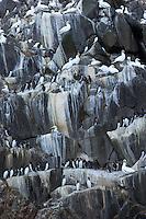 Gannet (Morus bassanus) Colony, The Flannans, Outer Hebrides, Scotland