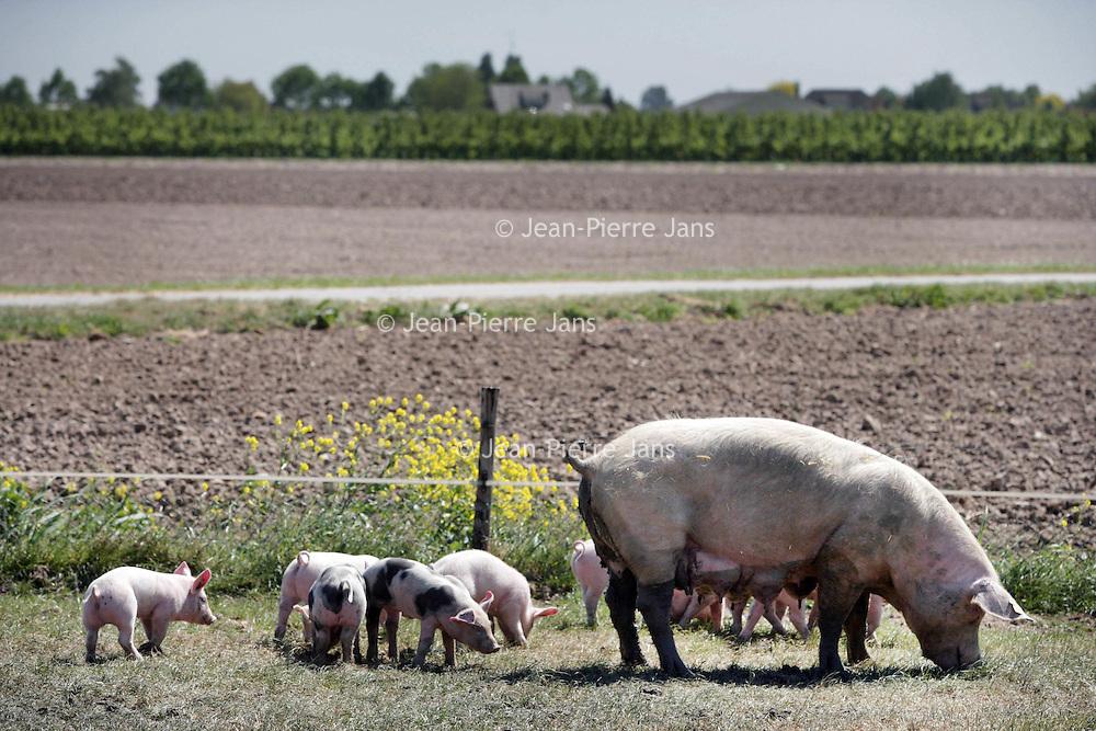 Nederland,Hedel ,2 mei 2007..Moeder varken met biggen tevreden buiten scharrelend. A sow happily grubbing with her piglets.