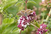 Brown argus butterfly on marjoram flowers.