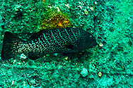 Tiger Grouper along outer hull, Doc Paulson, Grand Cayman