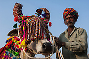 Bull decorated for the cattle decorating competition at Pushkar camel and livestock fair which takes place in the Hindu month of Kartik (October / November) ten days after Diwali (Festival of Lights). Pushkar has always been the the region's main market for herdsman and farmers buying and selling camels, horses, indigenous breeds of cattle and even elephants. Over the years this annual trading event has increased in volume to become one of the largest in Asia. Temporary tents and campsites suddenly appear to accomodate the thousands of pilgrims, villagers and tourists. Entertainers and contests abound and a festive funfair atmosphere prevails over Pushkar during the Mela's 2 week duration. Thousands of men come first with their camels, horses and cattle and camp on the dunes to transact business. 3 days before the full moon the women arrive beautifully attired. The town of Pushkar is one of the holiest centers of Hinduism and houses one of the few Brahma Temples in India. It is one of the 5 essential pilgrimage centers which a Hindu must visit in his lifetime along with Badrinath, Puri, Rameshwaram and Dwarka. The 12 day fair culminates in a religious Hindu pilgrimage and reaches a crescendo on the night of the full moon (Purnima) when pilgrims take a dip in the holy lake.  <br /> Pushkar, Rajasthan. INDIA
