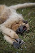 Aquidauana_MS, Brasil...Macaco morto na fazenda Rio Negro no Pantanal...The dead monkey in the Rio Negro farm in Pantanal...Foto: JOAO MARCOS ROSA / NITRO