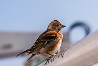 Russia, Sakhalin, Sea of Okhotsk. A female Brambling taking a rest onboard the oil service vessel Skandi Hercules.
