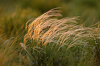 Mission: Saiga .Feather grass in the steppe of Cherniye Zemly (Black Earth) Nature Reserve, Kalmykia, Russia, May 2009  (Stipa sp.).