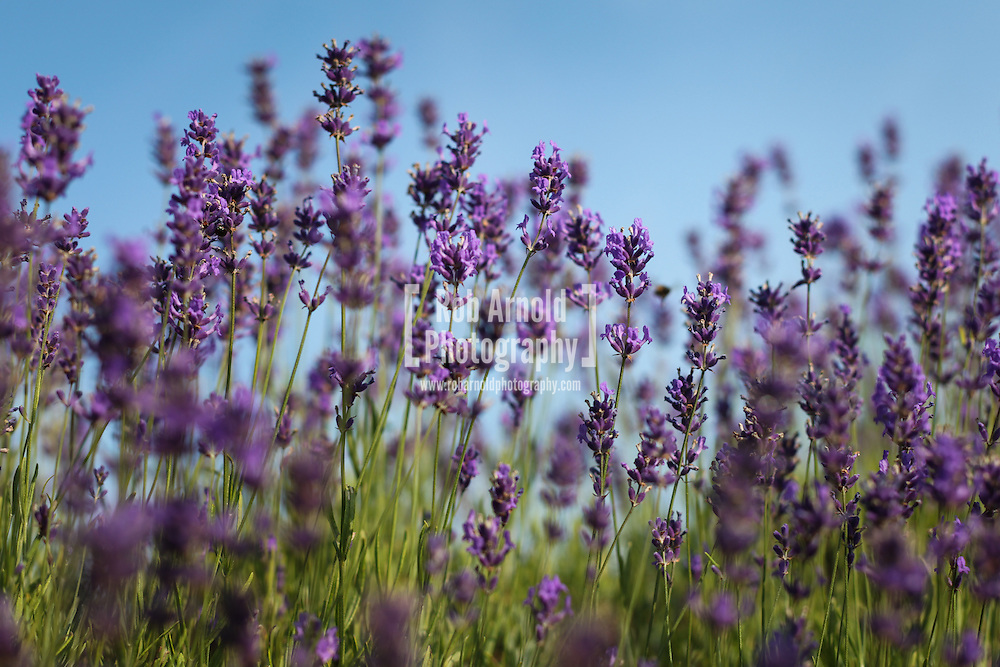 © Rob Arnold. Hampshire, UK. Lavender flowers in bloom on Summerdown farm estate near Malshanger in Hampshire. The lavender will be harvested and distilled into lavender oil that is a popular aromatherapy oil. The oil can be purchased from Summerdown Farms Ltd - www.summerdownmint.com Photo credit : Rob Arnold