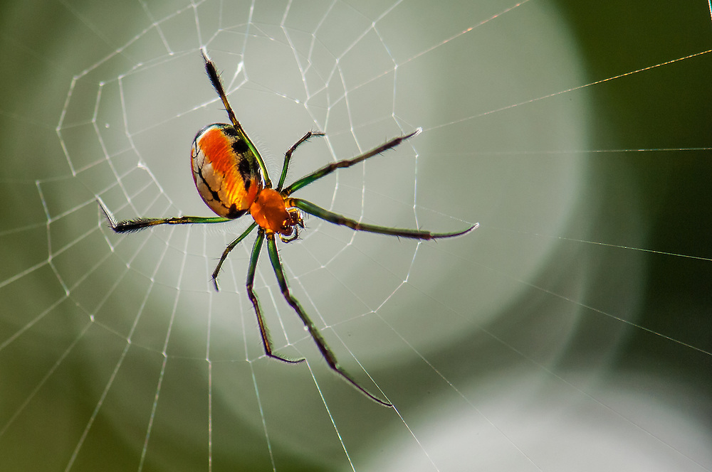 Orange and black orb web spider (Argiope sp.) hanging from its web near a track through the rainforest in West Papua, Indonesia