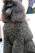 Israel, Tel Aviv, The International Dog Show 2010 Brown Medium Poodle