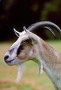 Toggenberg goat, England.