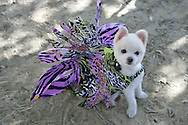 31st October 2009. Topanga, California. Much Love Animal Rescue's 6th Annual Bow Wow Ween! an annual Halloween event that helps find homes for stray animals and neglected pets. Pictured is Bobby Gorgeous the white Pomeranian dress as a Lion Fish. PHOTO © JOHN CHAPPLE / www.chapple.biz.john@chapple.biz  (001) 310 570 9100.
